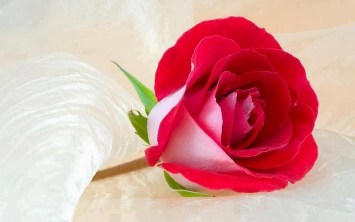 بالصور اجمل ورود الحب , صور ورود بالوان رومانسية 3603 7