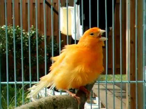 صور صوت عصافير كناري , اجمل صوت لعصافير الكنارية