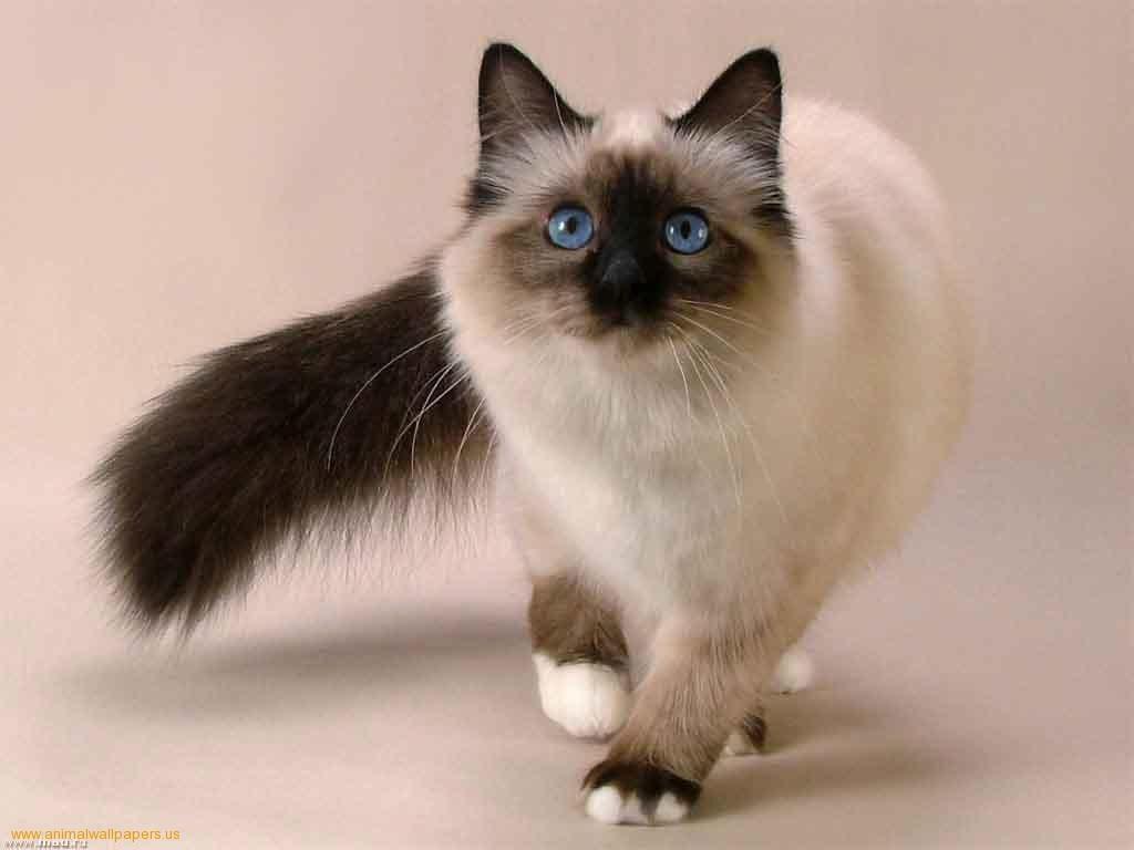 صورة قطط هملايا , قطط جميلة من الهملايا