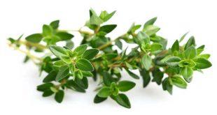 صورة فوائد الزعتر , فوائد لنبات الزعتر بالفيديو