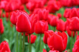 بالصور ازهار جميلة , اجمل الورود 503 3