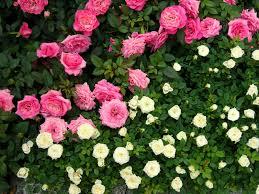 بالصور ازهار جميلة , اجمل الورود 503 6