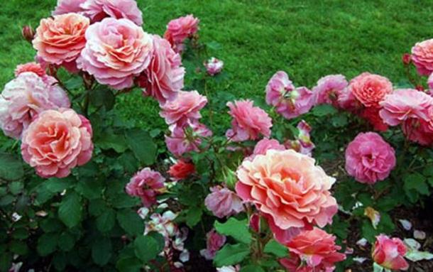 بالصور ازهار جميلة , اجمل الورود 503 7