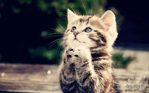 بالصور صور قطط كيوت , صور اجمل قطة كيوت 3817 8