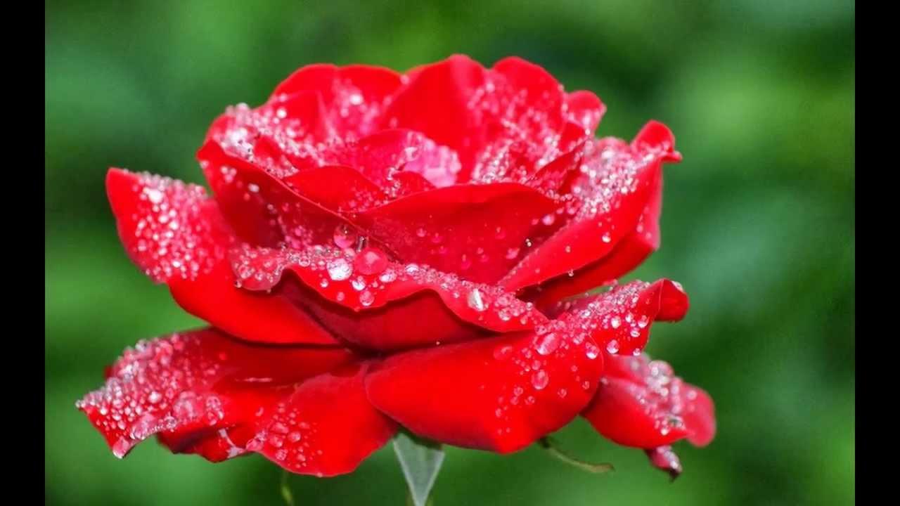 بالصور اجمل وردة في العالم , احلي انواع الورود 4066 2