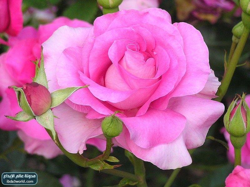 بالصور اجمل وردة في العالم , احلي انواع الورود 4066 7