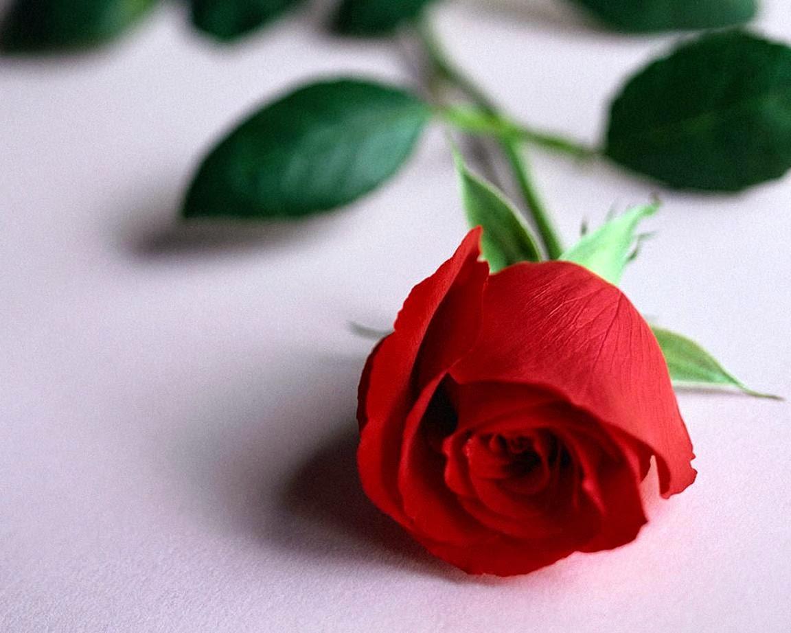 اجمل وردة في العالم احلي انواع الورود عالم الفوائد والغرائب