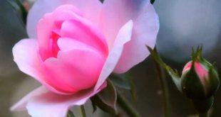 بالصور اجمل وردة في العالم , احلي انواع الورود 4066 9 310x165