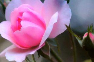 صورة اجمل وردة في العالم , احلي انواع الورود