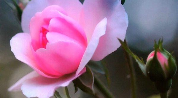 صور اجمل وردة في العالم , احلي انواع الورود