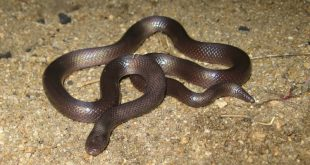 صورة حلم ثعبان صغير , الثعابين والمنام
