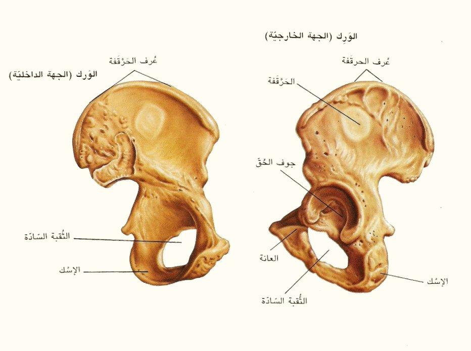 صور اكبر عظمة في جسم الانسان , معلومه طبيه عن العظم بجسم الانسان