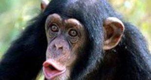 بالصور تفسير القرد في المنام , ما معنى الحلم برؤيه القرد 7380 2 310x165