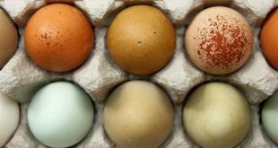 هل يؤثر اختلاف لون قشرة البيض على القيمة الغذائية للبيض , سبب اختلاف لون البيض واثره على قيمته الغذائية