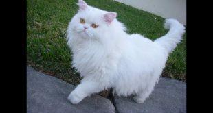 صورة حاجات مهمه لازم تعرفيها قبل ماتشتريها, قطط شيرازى